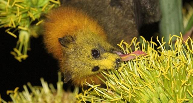 Flying Bat licking pollen: WikiCommons