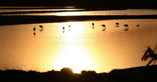 Flamingos in water at Sunset: WikiCommons
