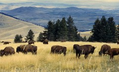 Bison herd: US Fish and Wildlife