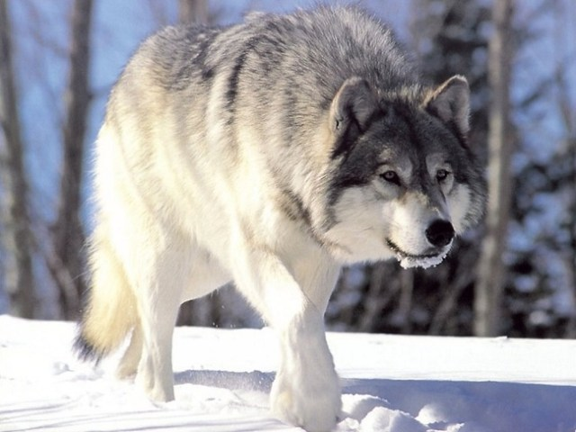 Wolf in Snow: WikiCommons