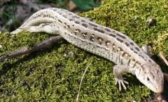 cs4k-lizard-on-moss