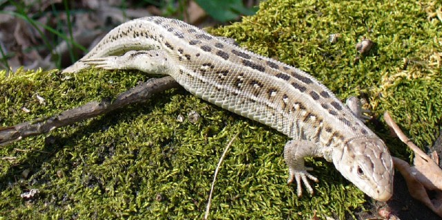 cs4k-lizard-on-moss