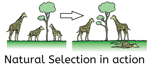 Giraffes being sorted by Natural Selection
