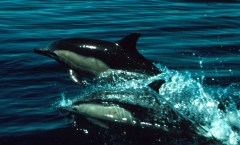 Common Dolphins, photo credit: NOAA library
