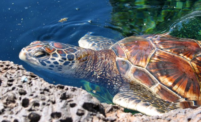 Hawaiian Green Sea Turtle, photo credit: Didactohedron