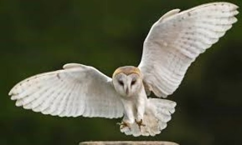 Owl to fly in wedding rings