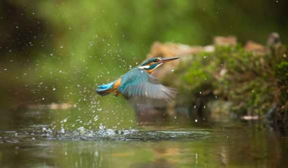 photo of common kingfisher flying above river