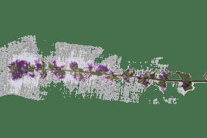 Man sieht eine gepresste Pflanze von Dodo Kresse