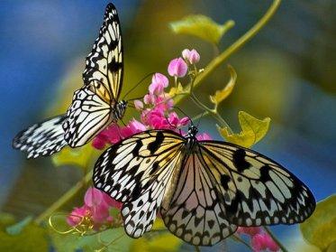 673128__beautifulbutterflies_p