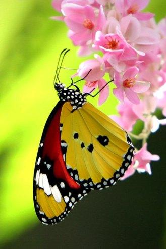 Beautiful-butterfly-butterfly-16959426-500-750