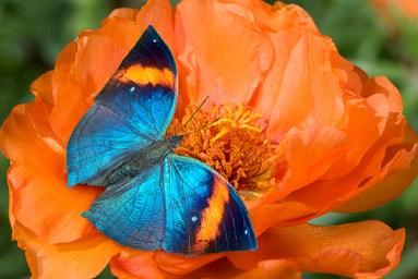 indian-leaf-butterflykallima-inachusindia-sharp1