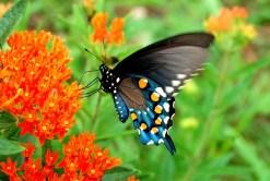 pipewine-swallowtail-butterfly-edupic-net