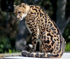 King-cheetah