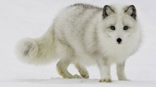 snow-white-arctic-fox-foxes--768x1366