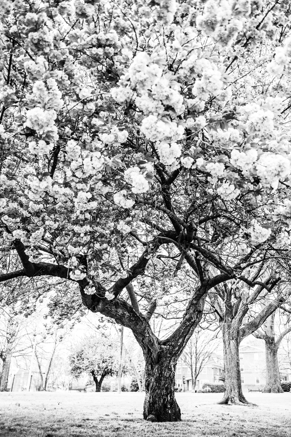 Cherry Tree in black and white taken by Delaware Photographer