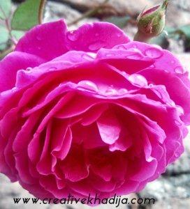 rose images
