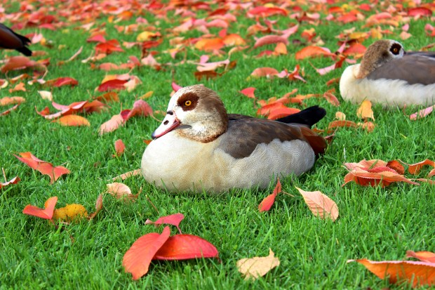 nilgans-duck-water-bird-fall-foliage-65263.jpeg
