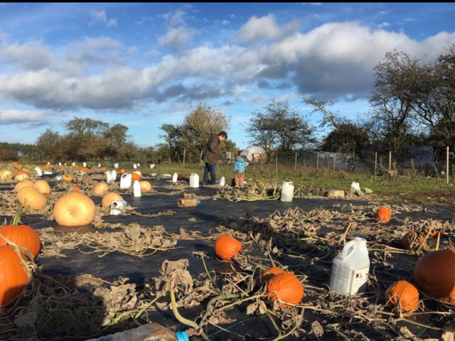 pumpkin picking at The Veg Hut Northumberland
