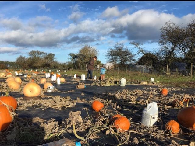 pumpkin picking at The Veg Hut Northumberland