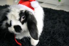 bunny-christmas-lop-rabbit-santa-favim-com-157160