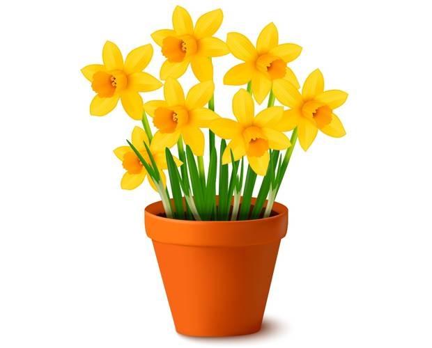 pot-daffodils