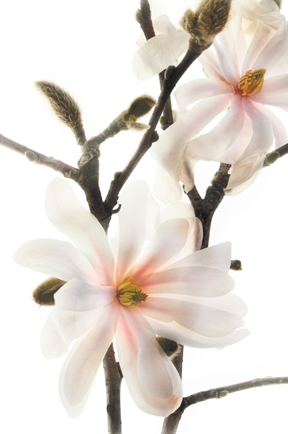 "This artisanal pigment print ""Star Magnolia"" is featured in the Botanique limited edition portfolio of floral images. Botanique shows the type of art that can be created with the new digital workflow and backlighting technique Harold Davis invented to create luminous translucent imagery. The image looks fantastic on Moab Moenkopi Unryu Washi paper. Photo: ©Harold Davis"