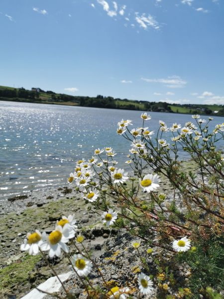 daisies by the sea