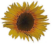 Sunflower Radial Symmetry