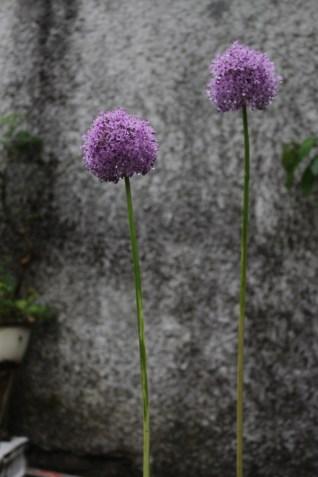 Allium er....