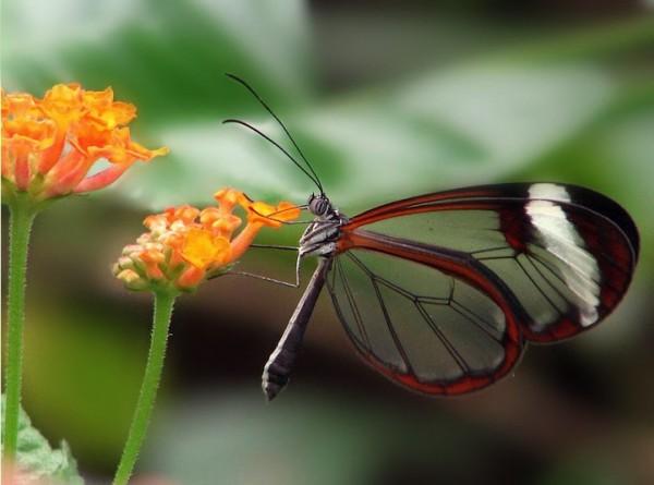 glasswingbutterfly5