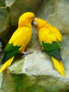 gold-parakeets-406808_960_720