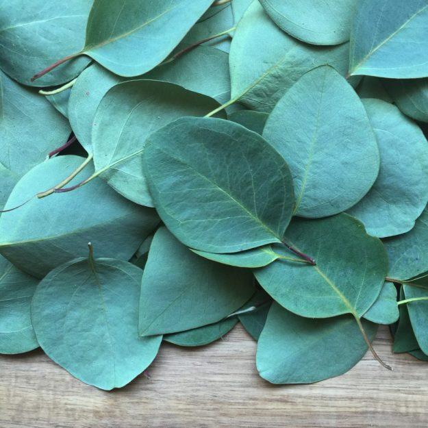 Leaves of a Eucalyptus Tree