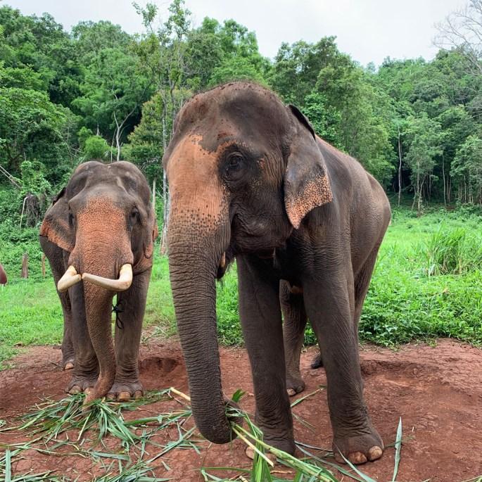 Asian elephant Patara Thailand