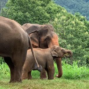Asian elephsnts Thailand Asian elephant facts