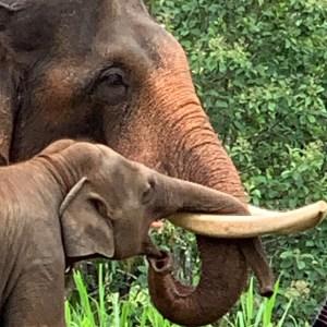 Asisn elephant and calf Thailand Asian elephant facts