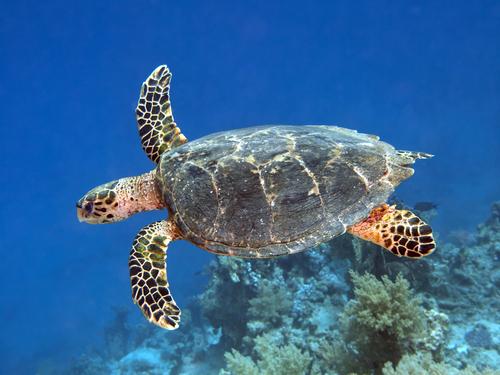Hawksbill sesa turtle facts
