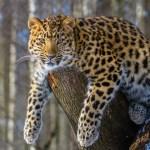 Amur Leopard on tree