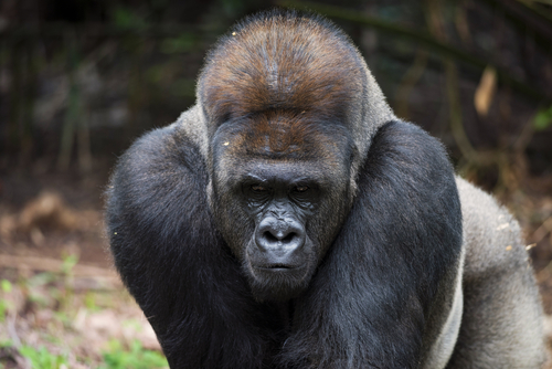 Male Eastern Lowland Gorilla