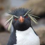 Rockhopper Penguin face