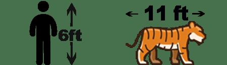 Siberian Tiger Size Chart