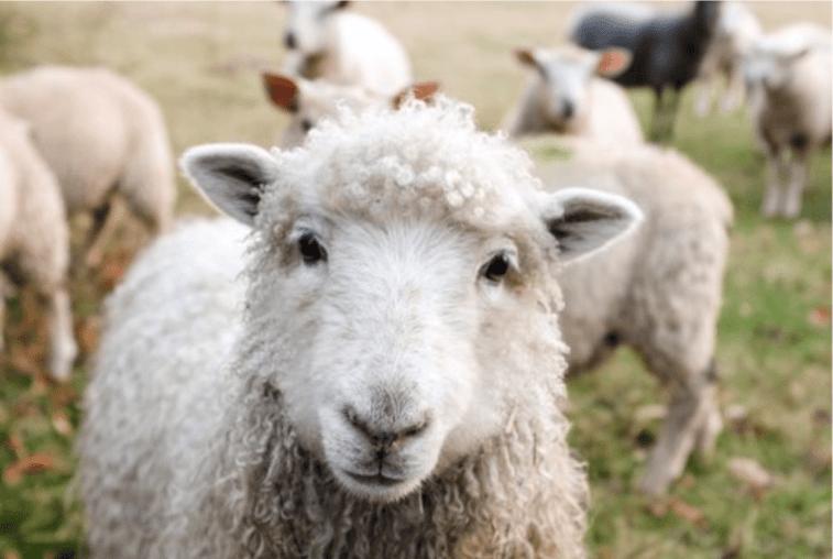 Sheep at Farm
