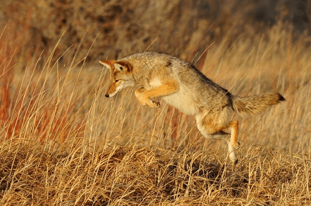 Coyote at Grizzly Gulch