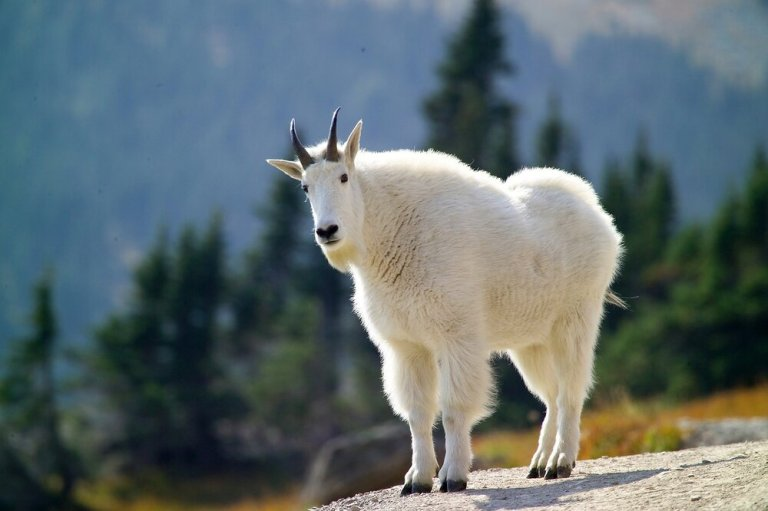 Mountain Goat at Grizzly Gulch