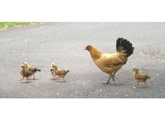 Wild hen & her babies in Haleiwa