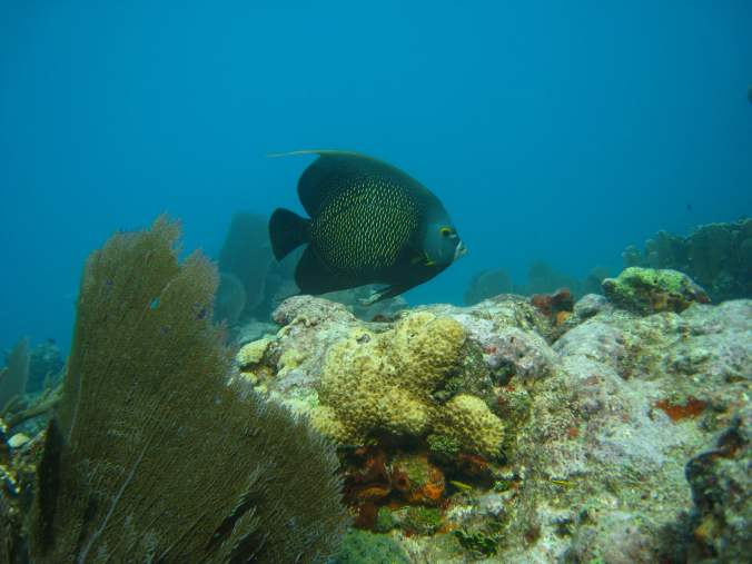 French Angelfish on Florida Keys Reef
