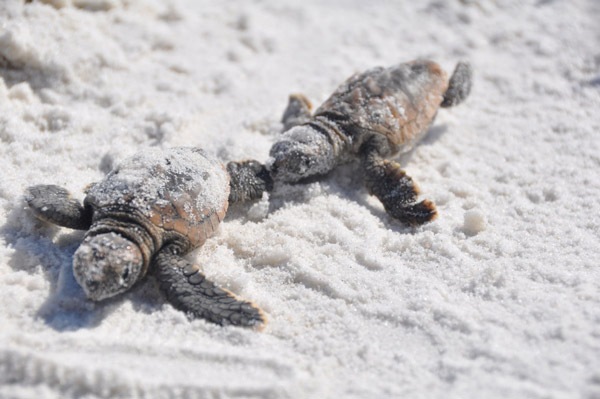 Turtles hatching in Alabama