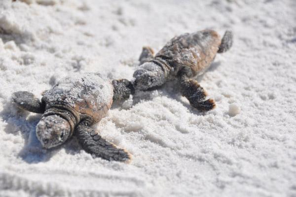Turtles hatching in Alabama