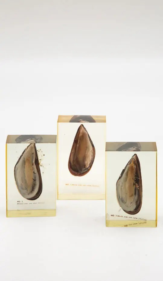 Pierre Giraudon Set of Three Mussels Encased in oyster resin