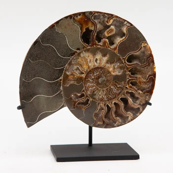 ammonite on black stand