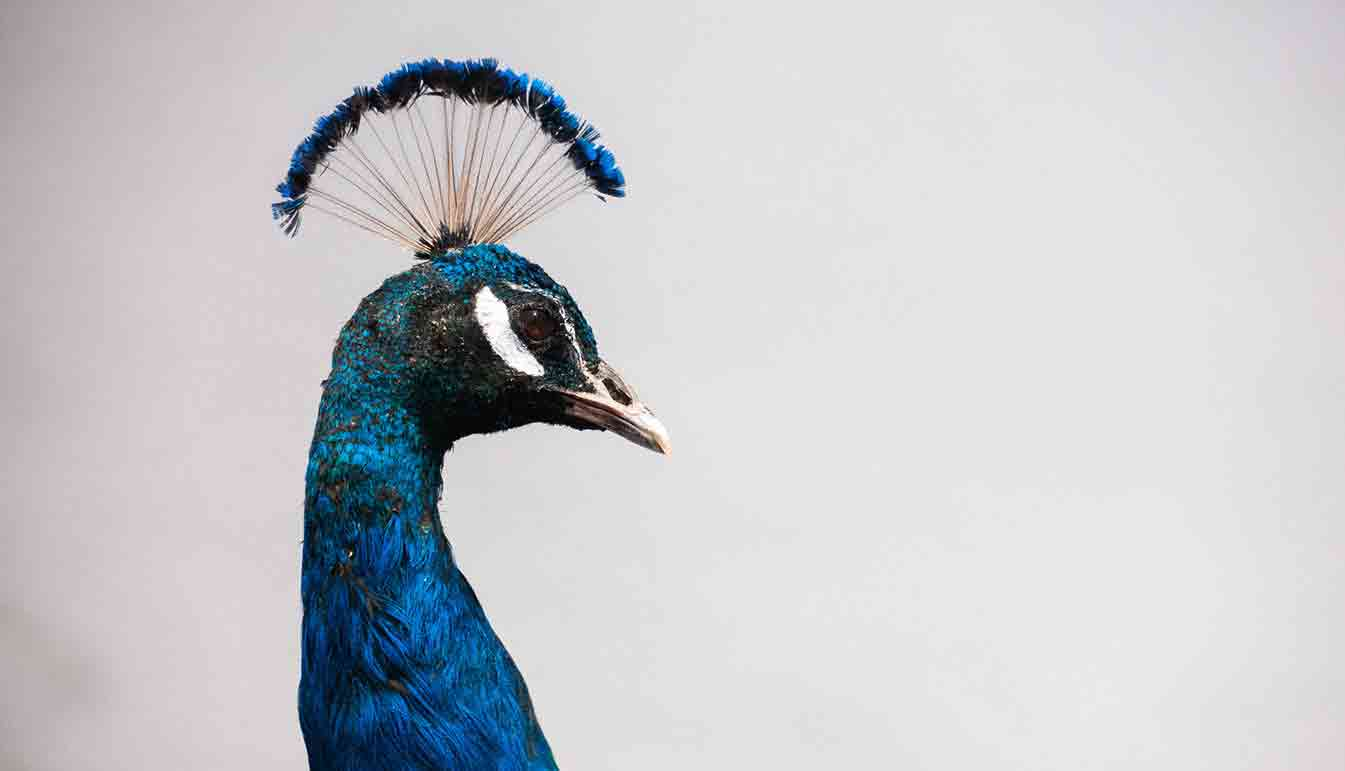 indian_blue_peacock_right-facing